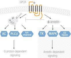 Gpcr Signaling Antibodies To Detect G Protein Coupled Receptors Gpcrs