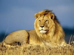 african lion wallpaper big cats s