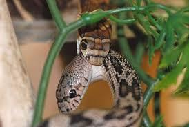 king cobra snake eating. Beautiful Snake 10 Unknown Facts Of King Cobra 8 To Snake Eating S