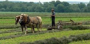 amish the plain people an amish farmer raking hay