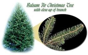 Know The Types Of Common Christmas Trees  Fraser Fir Christmas Types Of Fir Christmas Trees