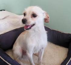 Image result for chihuahua terrier mix