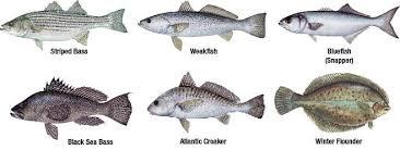 Saltwater Fish Chart Marine Species Identification New Jersey Saltwater Fishing