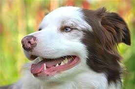 Pale Gums In Dogs What It Means When A Dogs Gums Are Pale