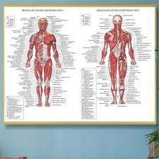 Human Body Muscle System Anatomy Chart Educational Posters