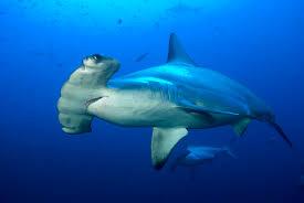 hammerhead shark facts for kids. Delighful Hammerhead Scalloped Hammerhead Throughout Shark Facts For Kids T