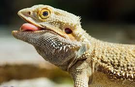 baby bearded dragon feeding
