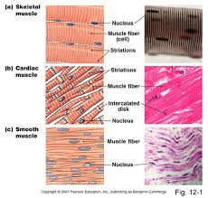 2 02 Skeletal Muscle Chart Lesson 2 02 Skeletal Muscle Flashcards Quizlet