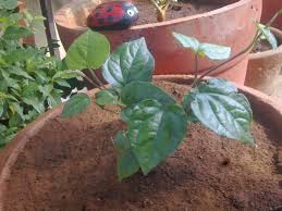 Kitchen Gardens In India Plants Growing In My Potted Garden Growing Piper Betel In Pots