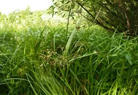 Scirpus radicans - Wikispecies