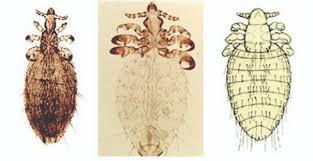 Goat Lice Epp 7019 External Parasites Of Goats Osu Fact Sheets
