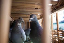 """Résultat de recherche d'images pour """"lacher pigeons photo"""""""