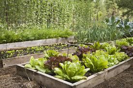 mixed lettuce lactuca sativa in raised bed