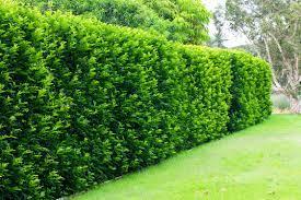 Murraya Hedge - Burke's Backyard