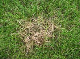 Lawn And Turf Dollar Spot Pacific Northwest Pest