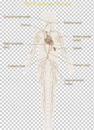 The Lymphatic System Manual Lymphatic Drainage Immune System