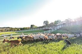 <b>Surfing</b> Goat Dairy | Maui Goat Farm Tours & Products