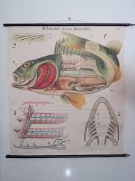 Rare Vintage Paul Pfurtscheller Pull Down School Chart Of Fish Perch Lithograph