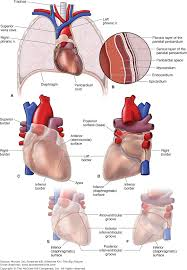 pericardial sac chapter 4 heart the big picture gross anatomy accessmedicine