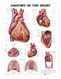 Laminated Anatomy Charts Heart Anatomy Chart Anatomy Of The Heart Laminated Lfa 99878