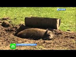Злая свинья держит в страхе сельских хулиганов - YouTube