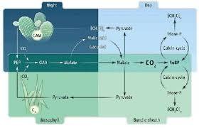 C3 C4 Cam Photosynthesis Plant Science Photosynthesis Plants