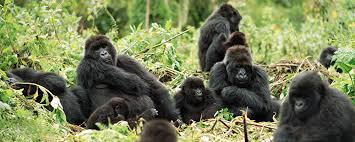 Image result for mountain gorillas