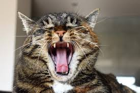 feline stomatitis treatment cost. Simple Feline Chronic Stomatitis In Cats U2013 What Are The Options In Feline Treatment Cost