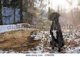 Small Picture Labrador Dalmatian Mongrel Stock Photo Royalty Free Image