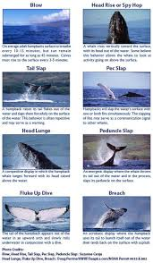 Humpback Whale 101 For Hawaii Diy Whale Watching Guide