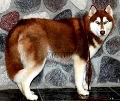 red husky puppy blue eyes. Brilliant Red Red Siberian Husky Puppies With Blue Eyes BreederSiberian  HuskySiberian Puppy Inside U