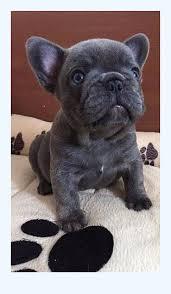 French Bulldog Puppies For Adoption | Dog Breed