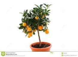 Venous OrangeSmall Orange Fruit On Tree