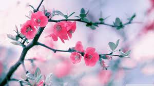 Pink Flower, spring, blossom, flowers ...