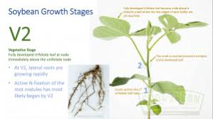 Understanding Soybean Growth And Development How To