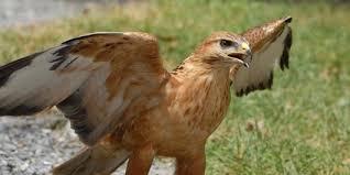 تحویل یک بهله عقاب طلایی نابالغ به محیط زیست نهاوند | خبرگزاری صدا و سیما