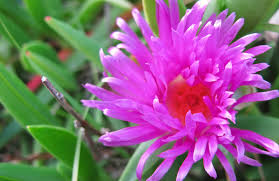 Image result for pigface flowers