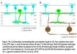 roles of amacrine cells by helga kolb webvision a schematic summarizing the cone bipolar inputs to a8 two varieties have input in the off layer t1 and t2 and two others t166 and t17 in the on layers