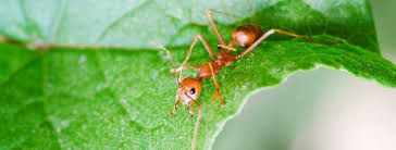 Image result for Pharaoh's Ant