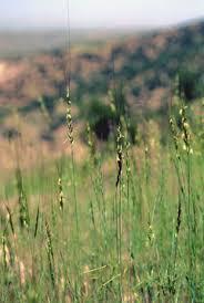 Aegilops speltoides Goatgrass PFAF Plant Database