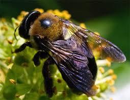 Pollinators Aplenty: English Ivy's Mixed Blessings