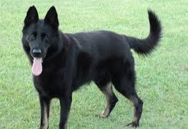 black and white spotted german shepherd.  White GSD With Black Coat And White Spotted German Shepherd