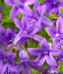 garden flower names. Simple Garden Clustered Bellflower With Garden Flower Names I