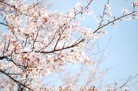 White cherry blossoms tree, flowers ...