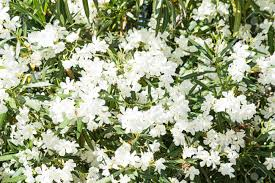 White Oleander Bush As Background Stock Photo, Picture And Royalty Free  Image. Image 83727404.