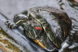 Red Eared Slider Invaders Are Hurting Californias Native