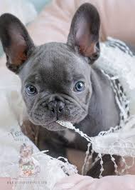 miniature blue french bulldog puppies for sale. Exellent Blue Female Blue French Bulldog Puppy By Teacups Puppies To Miniature For Sale N