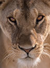 lioness. Exellent Lioness The Lioness And I Held One Anotheru0027s Gaze For Long Minutes Felt My Heart  Expand An Overwhelming Sense Of Appreciation Flowed Out Me Towards Her With Lioness