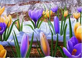 Image result for crocuses in snow