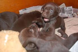 newborn chocolate lab puppies. Brilliant Newborn Tinychocolatelabradorpuppieswrestling Inside Newborn Chocolate Lab Puppies